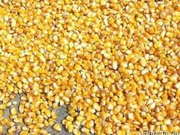Цена на кукурузу на элеваторах шнековые транспортеры воронеж