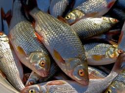 Закупаем оптом речную рыбу