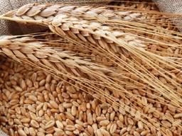 Закупаем пшеницу фуражную в любом объеме