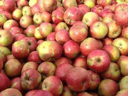 Закупаем яблоко на промпереработку