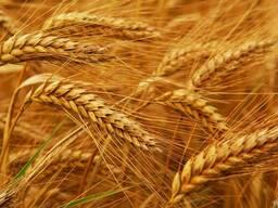Семена озимой пшеницы Farrell канадский трансгенный сорт