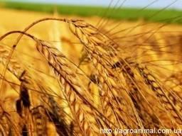 Закупаем зерновые и масличные