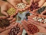 Закупаем зерновые,масличные,бобовые и технические культуры