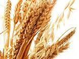 Закупаем зерновые. Пшеница, рожь. - фото 1