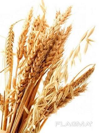 Закупаем зерновые. Пшеница, рожь.