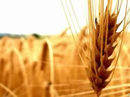 Закупаю пшеницу, ячмень, горох