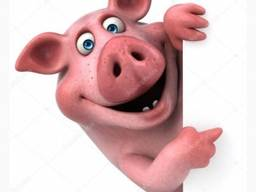 Закупка свиней