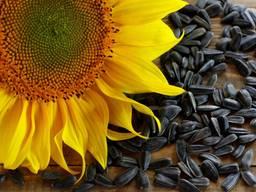 Закуповуємо насіння соняшнику