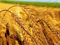 Закуповуємо зернові на вигідних для Вас умовах!