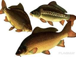 Окажем услуги по вылову рыбы неводом для рыбоводных хозяйств