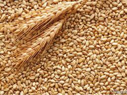 Пшеница 2 и 3 класс зерно