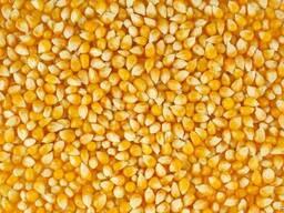 Желтая кормовая Кукуруза. Yellow feed Corn.