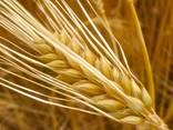 Зерновые отходы - фото 1