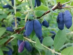Жимолость съедобная(їстівна) семена (10 штук) для саженцев