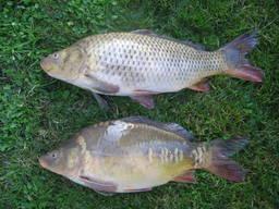 Куплю живую рыбу