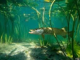 Продаем стружку речной рыбы