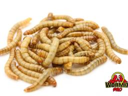 Живой корм – Мучной хрущак Мучник Tenebrio molitor Mealworms