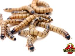 Живой корм – Зофобас Зоофобус Zophobas morio Superworms