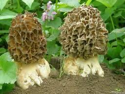 Живой зерновой мицелий Сморчок толстоногий - семена сморчков