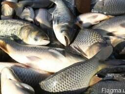Живя рыбы(толстолоб, карп, карась)