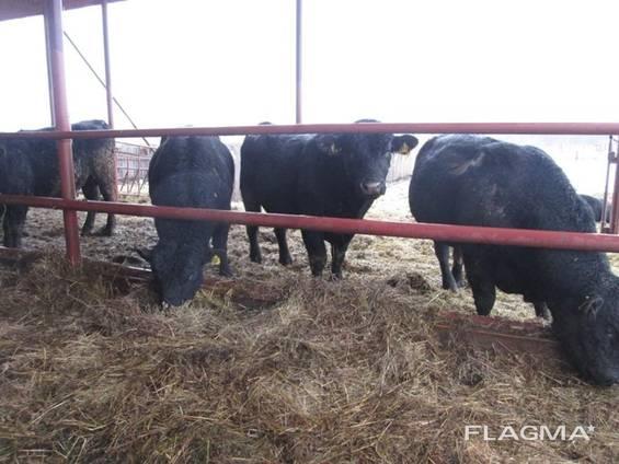 Живые коровы и быки