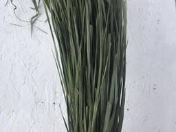 Зубрівка трава, лесная зубровка , лісова