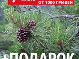 Сосна жёсткая семена (50 шт) (Pinus rigida) для. ..